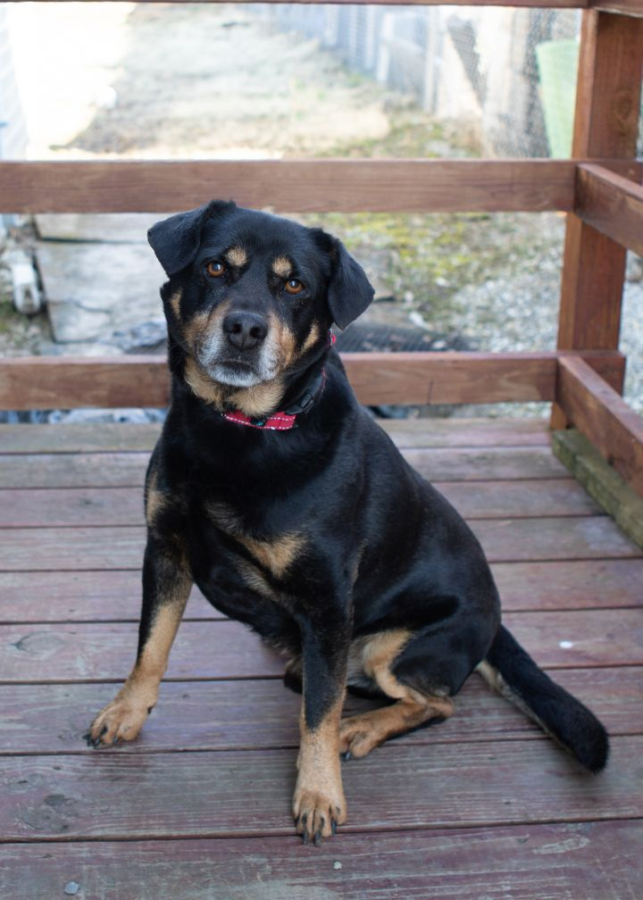 Shorty, an adopted Mixed Breed in Cape Girardeau, MO
