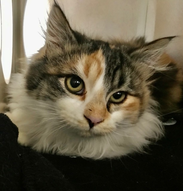 Jazmine, an adopted Domestic Long Hair in Ridgway, CO