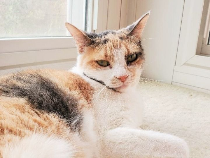 Ripken, an adoptable Calico & Domestic Short Hair Mix in Mission Viejo, CA_image-3