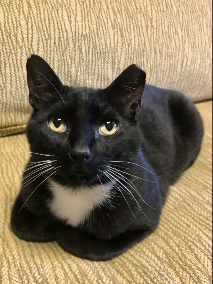 Floyd, an adoptable Domestic Short Hair in Warminster, PA