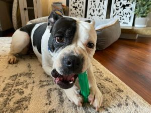 Hi My name is Cookie I am a 2 year old Boxer Mix I arrived in Seattle from Texas not