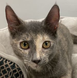 Wonder Woman or Winnie is a Domestic Short Hair Tortoiseshell Dilute Color Loving 3 months old V