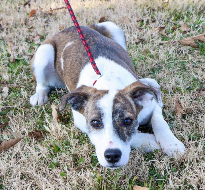 Winslow, an adopted Feist Mix in East Windsor, CT_image-3