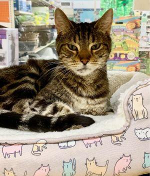 Figuero Tabby Cat
