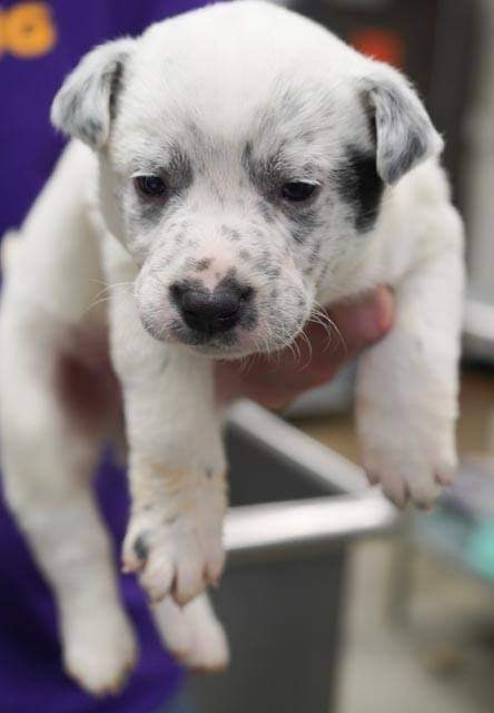 Tabbart, an adoptable Australian Cattle Dog / Blue Heeler Mix in Thompson's Station, TN