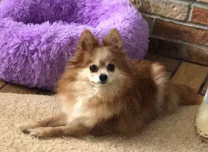 Cinnamon, an adoptable Pomeranian in Rochester, NY