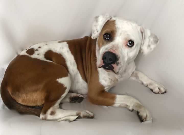 ~Lyla~, an adoptable American Bulldog & Boxer Mix in West Hartford, CT_image-2