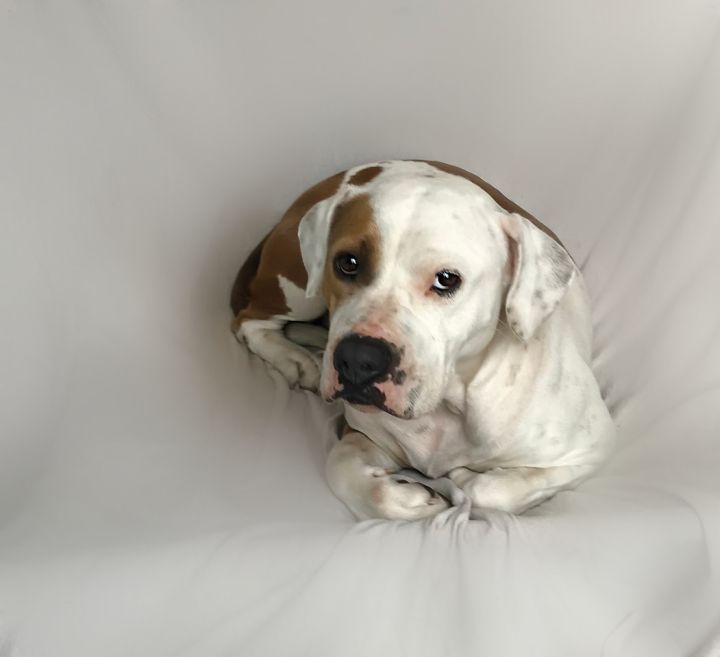 ~Lyla~, an adoptable American Bulldog & Boxer Mix in West Hartford, CT_image-3