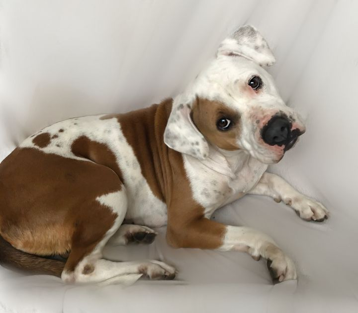 ~Lyla~, an adoptable American Bulldog & Boxer Mix in West Hartford, CT_image-4