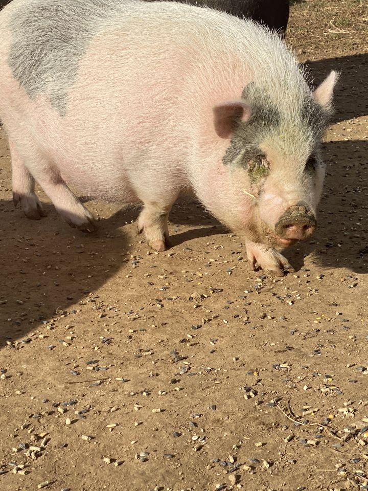 Charlotte, Flemel, Fudge (Current Adoptable Pigs) 2