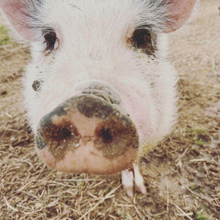 Charlotte, Flemel, Fudge (Current Adoptable Pigs) 3