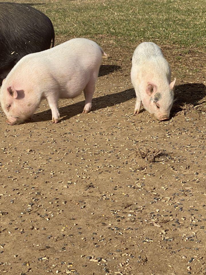 Charlotte, Flemel, Fudge (Current Adoptable Pigs) 1
