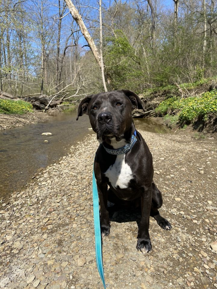 Omar - COMING SOON, an adoptable Great Dane & American Bulldog Mix in Mentor, OH