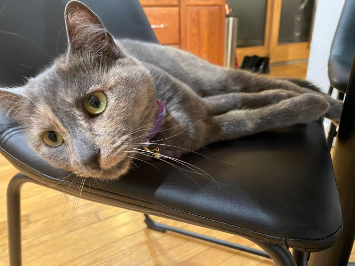 Shakira, an adoptable Domestic Short Hair & Dilute Calico Mix in Walden, NY