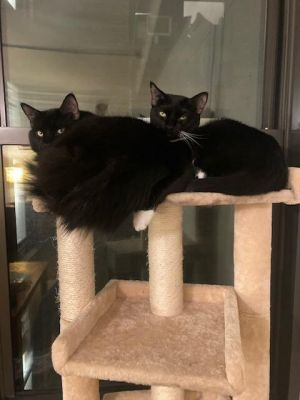 Garbo and Bear are approximately one year old bonded siblings who love their humans Both are very g