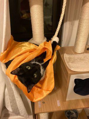 Garbo & Bear Domestic Short Hair Cat