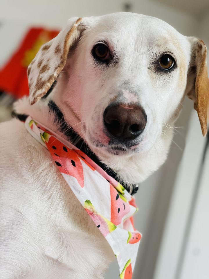 Zoey, an adoptable Hound Mix in Middlesex, NJ