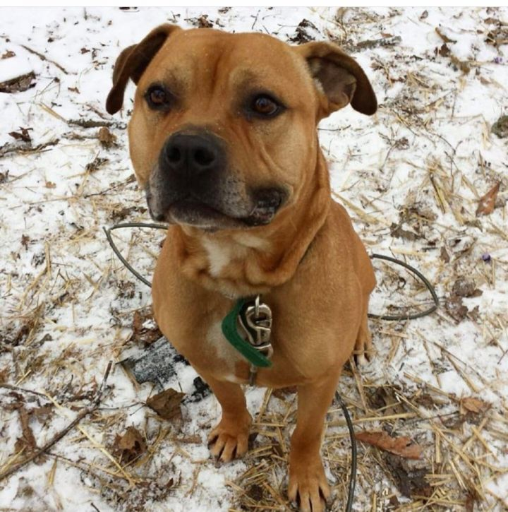 King, an adoptable Pit Bull Terrier Mix in Medford, NY