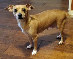 Grace Miniature Pinscher Dog