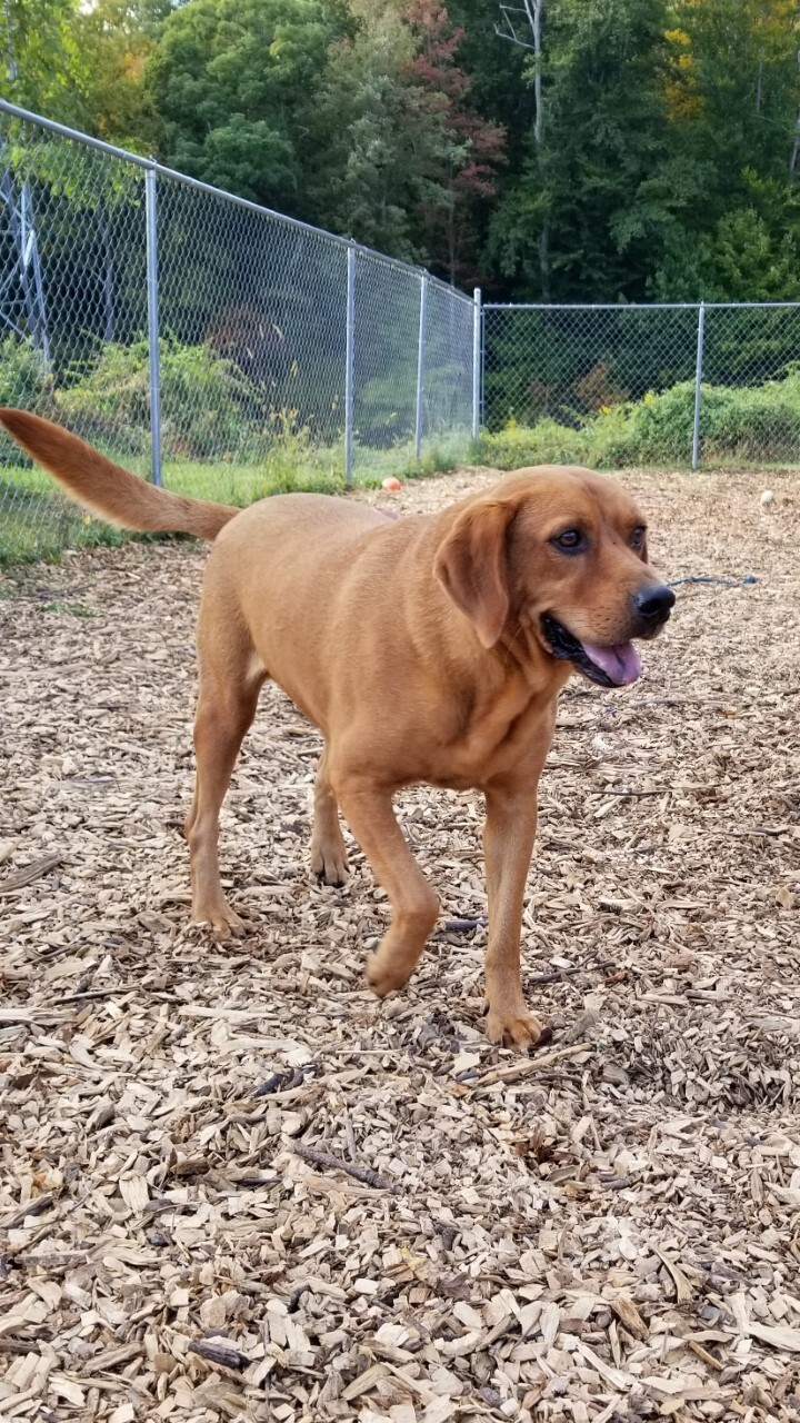 Duke, an adoptable Labrador Retriever Mix in Ringwood, NJ