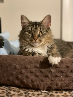 Sweet Dyna  A beautiful brown tabby recently rescued from a hoarding situation We think this pret