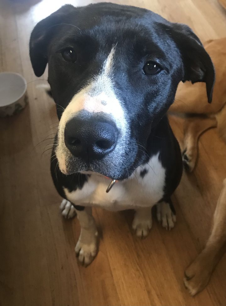 Hunter, an adoptable Pit Bull Terrier & Shepherd Mix in Minneapolis, MN