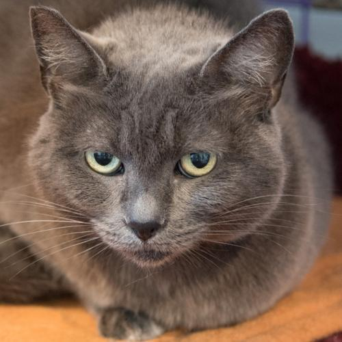Gigi, an adoptable Domestic Short Hair Mix in Springfield, OR_image-2
