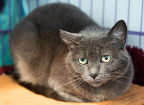 Gigi, an adoptable Domestic Short Hair Mix in Springfield, OR_image-3