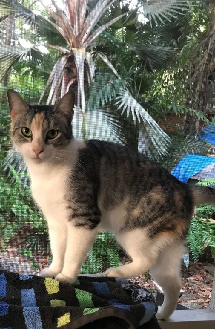 Brooke, an adoptable Torbie Mix in Miami, FL_image-1
