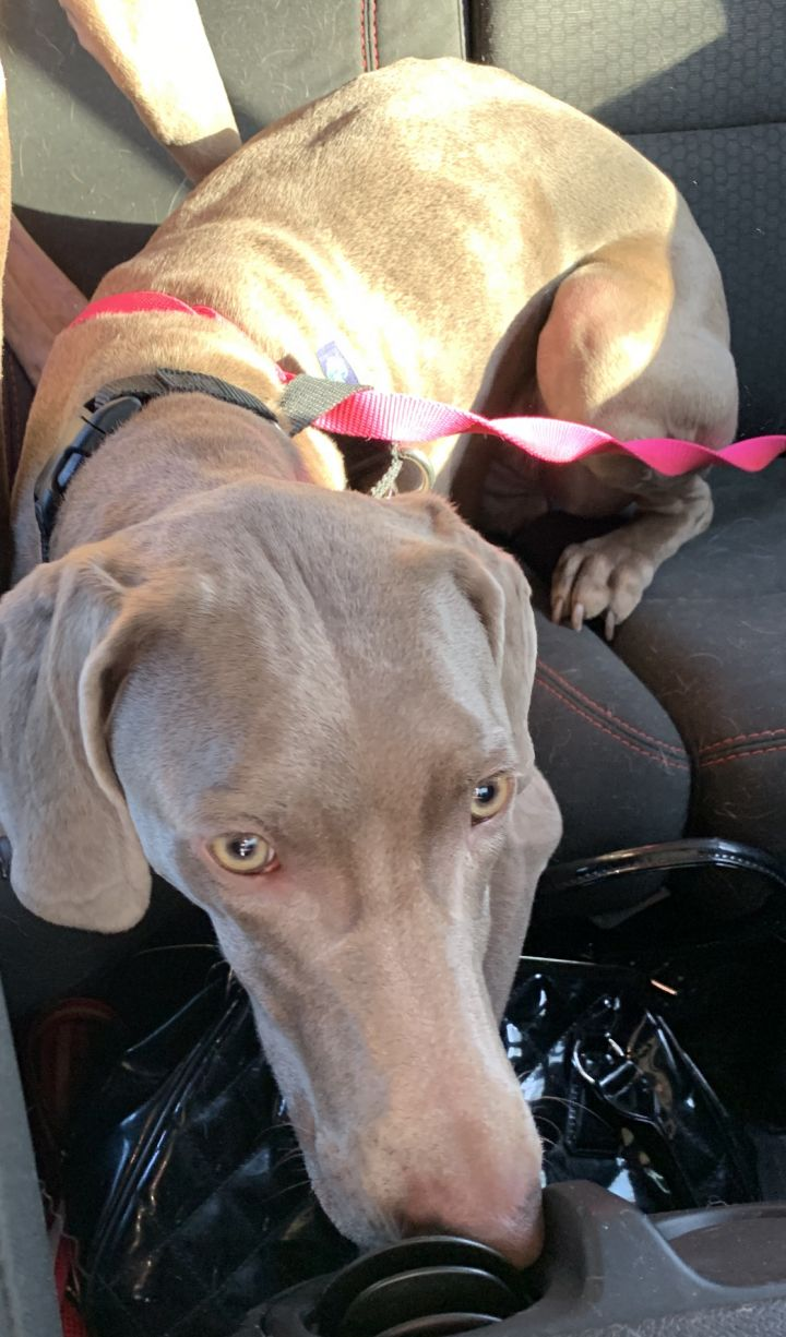 Ambrosia (with Sanza), an adopted Weimaraner in Omaha, NE