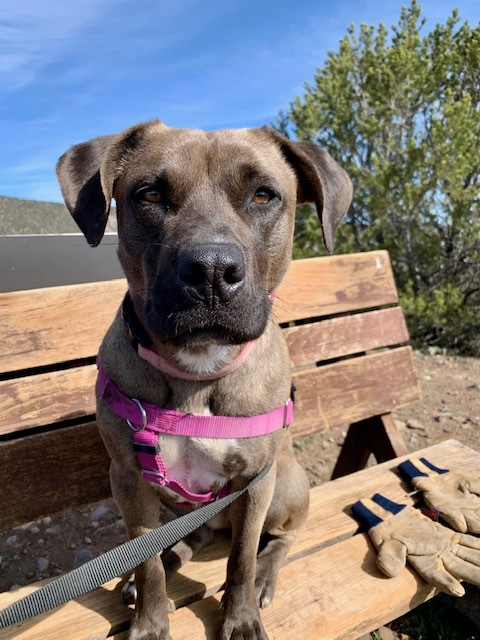 Pip, an adoptable Pit Bull Terrier Mix in Ridgway, CO