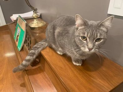 Diamond, an adopted Domestic Short Hair in Kentwood, MI