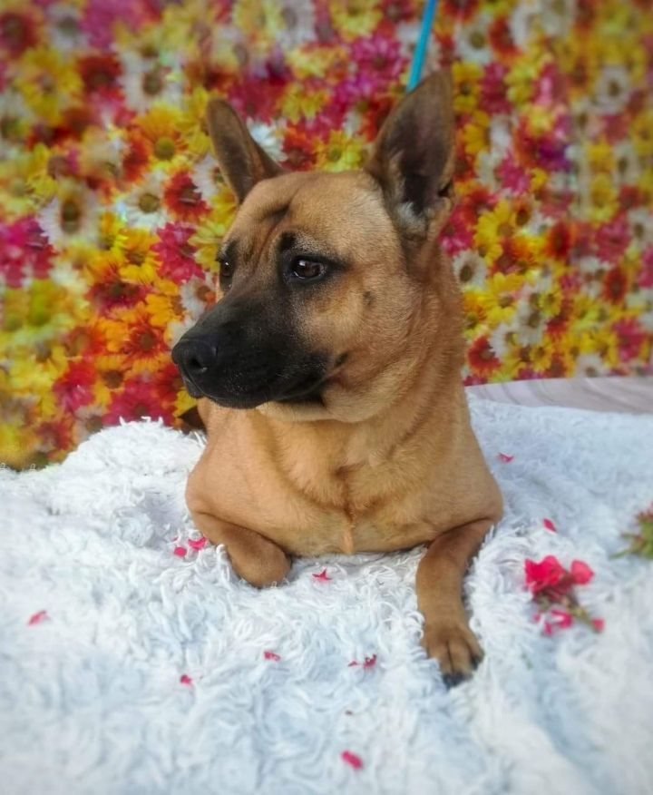Nana, an adopted Shepherd Mix in San Diego, CA_image-1