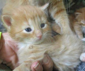 Orange Kitten 1