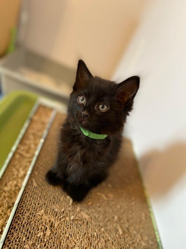 5 little black kittens 5