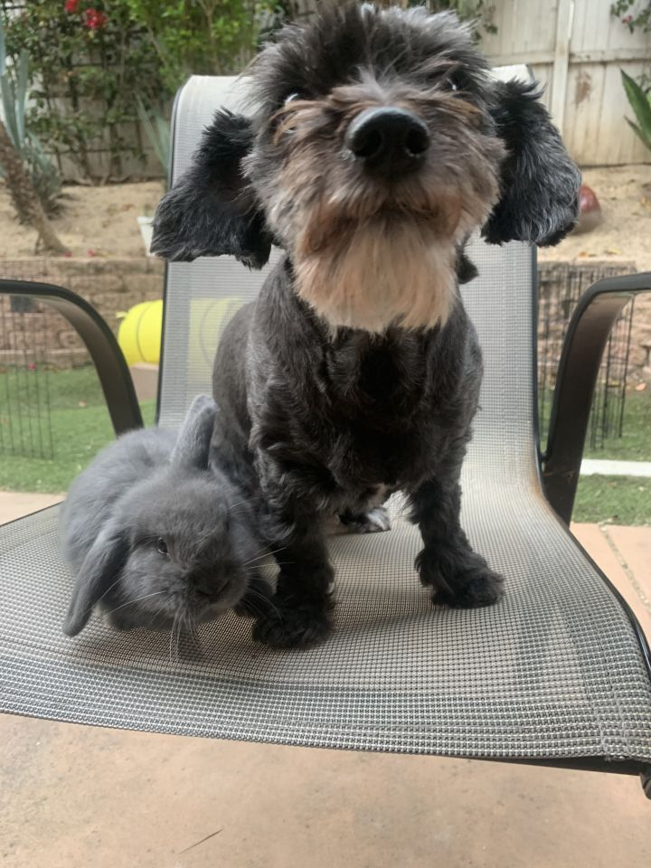 Shelley, an adopted Maltipoo & Miniature Schnauzer Mix in San Diego, CA