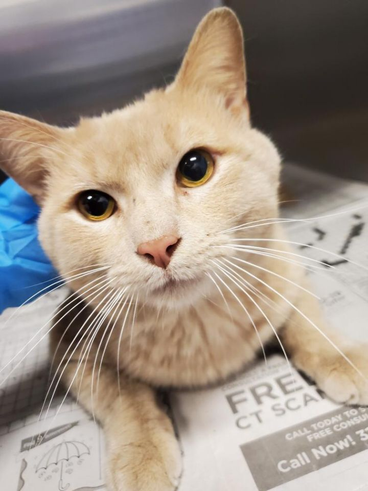 Serge, an adoptable Domestic Short Hair in Frankfort, IL_image-1