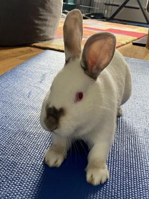 Maggie is a large Californian bunny She has been spayed and is foster care For more information p