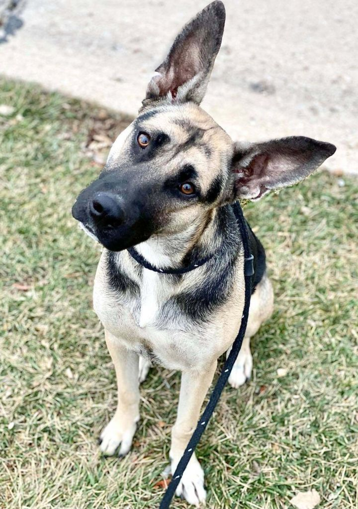 Elke, an adoptable German Shepherd Dog in Chesterfield, MO