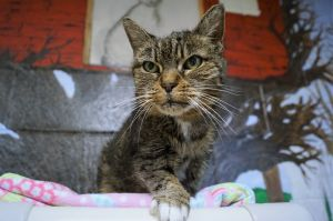 Bixie is a senior short haired tabby girl that was signed over after her owner passed away Shes i
