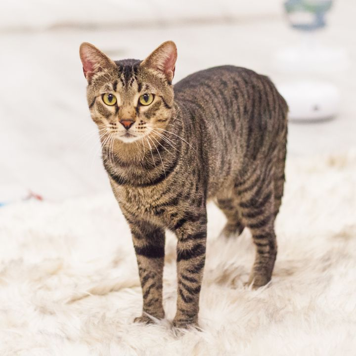 Tiberius, an adopted Domestic Short Hair in Ponte Vedra, FL