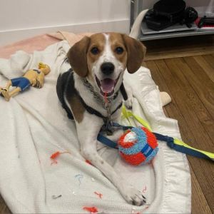 Meet Beau the beautiful pup with the big smile who is just over one-year-old Beau is a sweet boy w