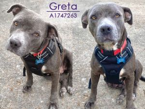 Greta is friendly and easy-going She likes to relax on the couch sunbathe play in the yard with h