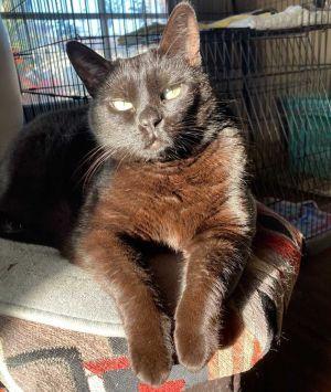 Delilah Domestic Short Hair Cat