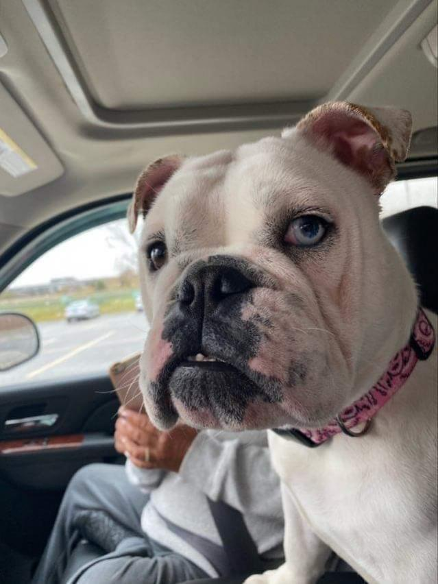 Gracie, an adoptable English Bulldog in Decatur, IL