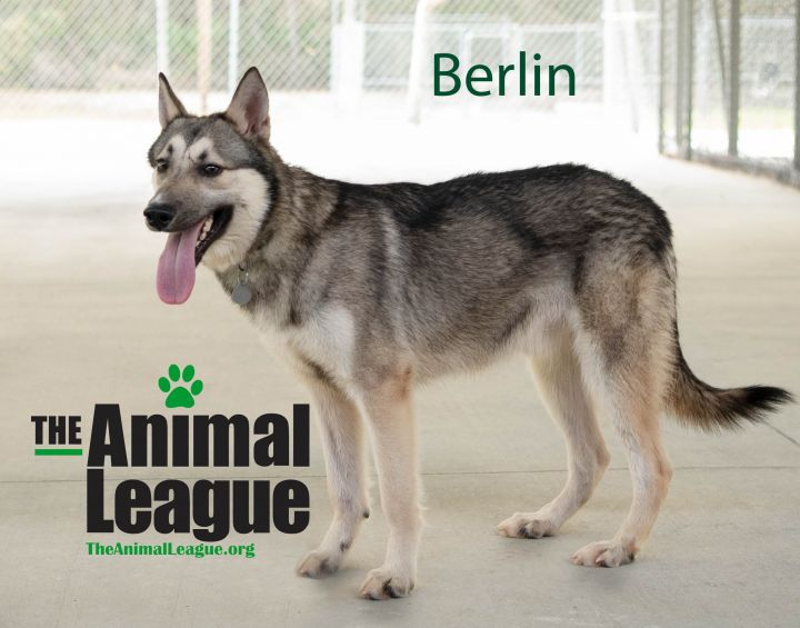 Berlin, an adoptable Husky Mix in Clermont, FL_image-1