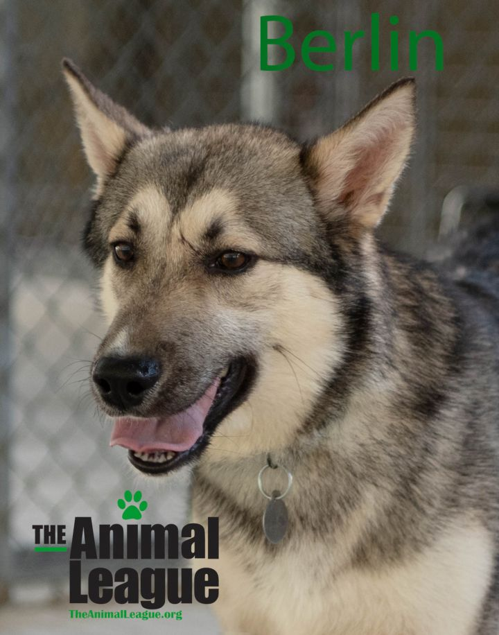 Berlin, an adoptable Husky Mix in Clermont, FL_image-2