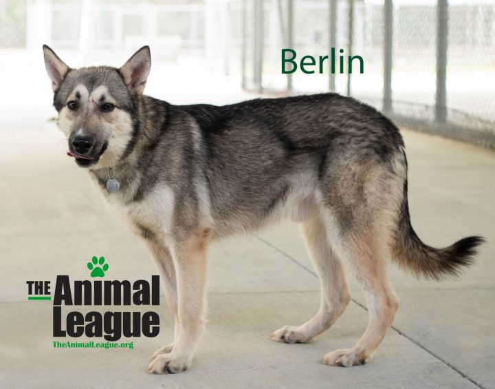 Berlin, an adoptable Husky Mix in Clermont, FL_image-3