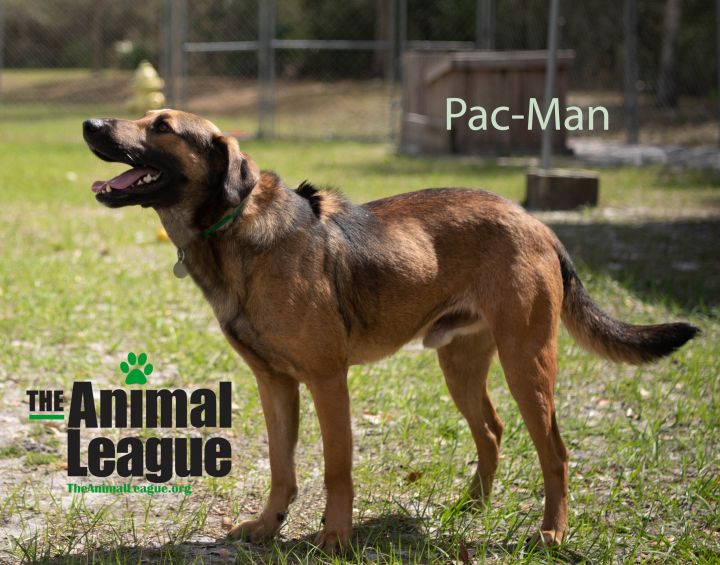 Pac-Man, an adopted Rhodesian Ridgeback & German Shepherd Dog Mix in Clermont, FL