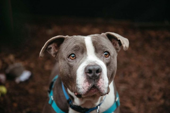 Twister, an adoptable Pit Bull Terrier Mix in Eagle, ID